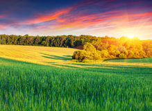 Colorful summer landscape with field of wheat Royalty Free Stock Photo