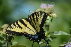 Tarrying Tiger Swallowtail Butterfly stock photography