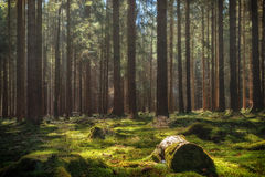 Free Colorful Summer Pine Forest Stock Image - 88706901