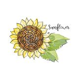 Colorful summer sketch, watercolor marker copic style. Bright and blurred sunflower with leaves. Lettering inscription sunflower. vector illustration