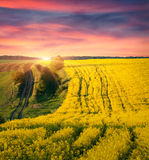 Colorful summer sunrise on field of blossom canola Royalty Free Stock Photography