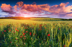 Colorful summer sunrise on field of wheat Royalty Free Stock Photography
