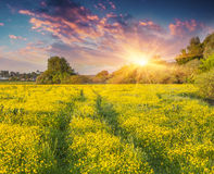 Colorful summer sunrise on meadow of yellow flowers. Royalty Free Stock Photo