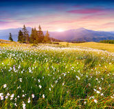 Colorful summer sunrise in the  mountains with a field of feathe Royalty Free Stock Photos