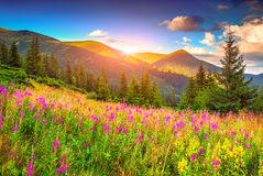 Colorful summer sunrise in mountains with pink flowers Stock Photo