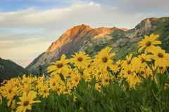 Colorful summer wildflowers in the Wasatch Mountains, utah, USA. Stock Photo