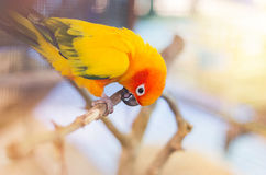 Colorful sun conure parrot birds Aratinga solstitialis standing perch on the branch Royalty Free Stock Photo
