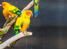 Colorful Sun parakeet sitting on a branch, tropical small parrot from America, Endangered bird specie stock image