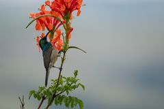 Colorful sunbird with iridescent colour feathers, photographed in the Drakensberg mountains near Cathkin Peak, South Africa stock photography
