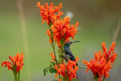 Colourful sunbird with iridescent colour feathers, photographed in the Drakensberg mountains near Cathkin Peak, South Africa royalty free stock photos