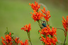 Colorful sunbird with iridescent colour feathers, photographed in the Drakensberg mountains near Cathkin Peak, South Africa. Colorful sunbird with iridescent stock image