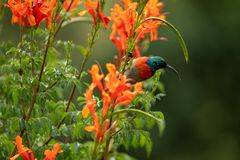 Colorful sunbird with iridescent colour feathers, photographed in the Drakensberg mountains near Cathkin Peak, South Africa stock images