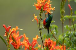 Colorful sunbird with iridescent colour feathers, photographed in the Drakensberg mountains near Cathkin Peak, South Africa. Colorful sunbird with iridescent royalty free stock image