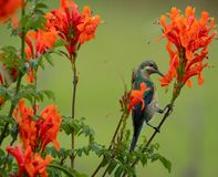 Colorful sunbird with iridescent colour feathers, photographed in the Drakensberg mountains near Cathkin Peak, South Africa stock image
