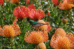 Colorful sunbird sitting on a Leucospermum cordifolium. In South Africa Royalty Free Stock Photography