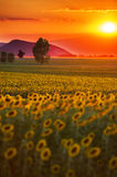 Colorful sunflower field Stock Image