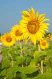 Colorful Sunflower in the morning . Royalty Free Stock Photography