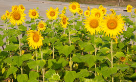 Colorful Sunflower in the morning . Royalty Free Stock Photo