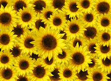 Colorful sunflowers Royalty Free Stock Photos