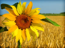 Colorful sunflowers. In the field of wheat Royalty Free Stock Image