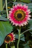 Colorful Sunflowers. Close up of a solo colorful sunflower in a garden royalty free stock images