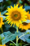 Colorful Sunflowers. Close up of a solo colorful sunflower in a garden stock photography