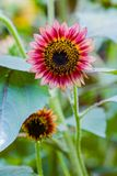 Colorful Sunflowers. Close up of a solo colorful sunflower in a garden royalty free stock photography