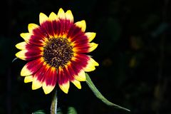 Colorful Sunflowers. Close up of a solo colorful sunflower in a garden royalty free stock photos
