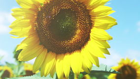 Colorful Sunflowers field and deep blue Sky Royalty Free Stock Photos