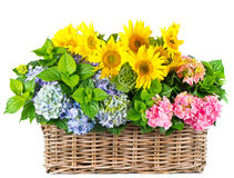 Colorful sunflowers and hydrangea bushes Royalty Free Stock Photos