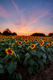 Colorful Sunflowers at Sunset Royalty Free Stock Photography