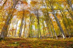 Colorful sunny beech forest landscape. Beautiful autumn season colorful sunny beech trees woodland stock photography