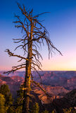 Colorful sunrise at Grand canyon with dry tree foreground Royalty Free Stock Image