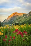 Colorful sunrise wildflowers in the Wasatch Mountains, utah, USA. Royalty Free Stock Photography