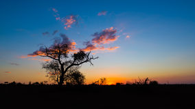 Colorful sunset in the african bush. Acacia trees silhouette in backlight. Kruger National Park, famous travel destination in Sout Stock Image