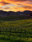 Colorful sunset at Napa California vineyard filled with mustard Stock Photography