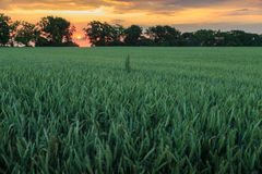 Colorful sunset over a green field of wheat Royalty Free Stock Images