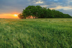 Colorful sunset over a green field of wheat Royalty Free Stock Photo