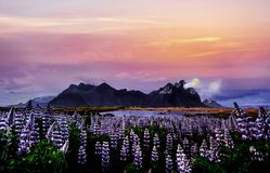 Colorful sunset over the mountains. e picturesque landscapes of forests and mountains of Iceland. Wild blue lupine royalty free stock images