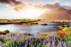 Colorful sunset over the mountains. e picturesque landscapes of forests and mountains of Iceland. Wild blue lupine stock images