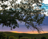 Colorful sunset over Napa vineyard with tree silhouette in foreground Royalty Free Stock Photos