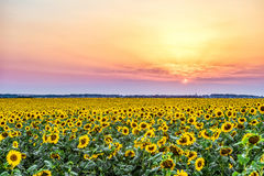 Colorful sunset over a rural plain with blossoming field of sunflowers. Sun rays over the low clouds. Evening rural landscape with beautiful natural light Stock Photos