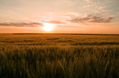 Colorful sunset over wheat field. Stock Image