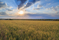 Colorful sunset over wheat field Stock Photo