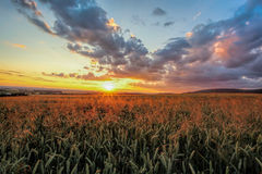 Colorful sunset over wheat field Stock Photography