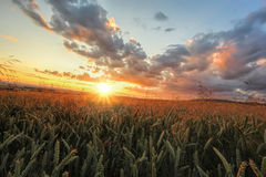 Colorful sunset over wheat field Royalty Free Stock Photo