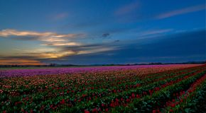 Colorful sunset in the Skagit Valley, Washington State. Sunset over a tulip field during the festival in the Skagit Valley Stock Image