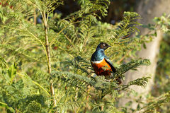 A colorful Superb Starling Stock Photos