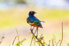 Colorful superb starling bird in Tanzania Stock Photography