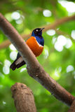 Colorful superb starling Stock Photography